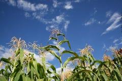 Maïs atteignant pour le ciel Images stock