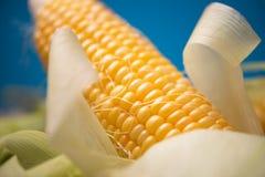 Maïs avec haut étroit de feuilles Images libres de droits