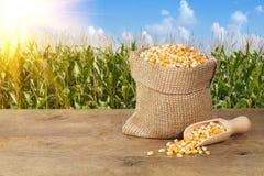 Maïs avec le fond de gisement de maïs Image stock