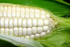 Maïs blanc image stock