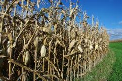 Maïs chez Harvestime images stock