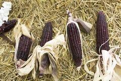 Maïs cireux ou ceratina de mai de Zea de plantation agricole de maïs Images stock