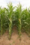 Maïs classé Images stock