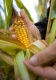 Maïs comme biomasse Images libres de droits