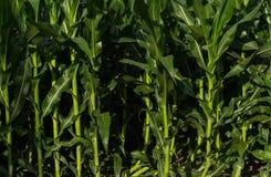 Maïs croissant d'été Photo libre de droits