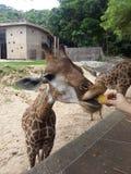 Maïs d'amour de girafe Photographie stock