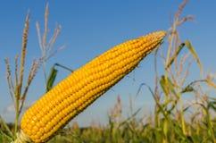 Maïs d'or au-dessus de champ Photos stock