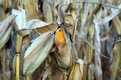 Maïs d'automne image libre de droits