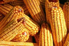 Maïs d'oreille Photographie stock libre de droits