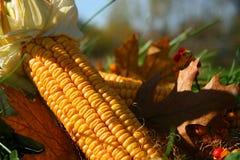 Maïs dans l'herbe Photo libre de droits