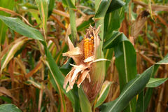 Maïs dans le domaine Photographie stock libre de droits