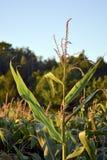 Maïs dans le domaine d'agriculteurs Photographie stock