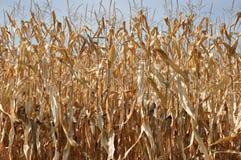 Maïs dans le soleil d'automne Photographie stock libre de droits