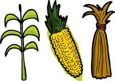 Maïs dans trois étapes Photographie stock libre de droits