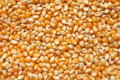 Maïs de bruit cru comme texture Photo libre de droits