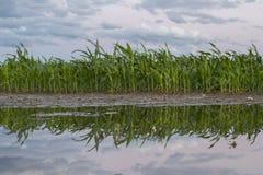 Maïs de champ après l'inondation de la pluie Photos libres de droits