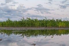 Maïs de champ après l'inondation de la pluie Photo stock