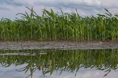 Maïs de champ après l'inondation de la pluie Photographie stock