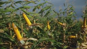 Maïs de champ avec l'mauvaise herbe clips vidéos
