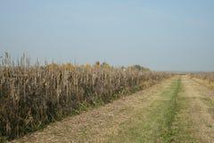 Maïs de champ pour la faune Image stock