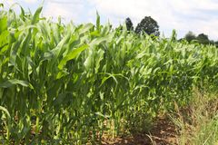 Maïs de Clementing Maturation du secteur agraire de future récolte de l'industrie agricole Ferme d'usine Élevage de l'hôte de cér Images libres de droits