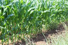 Maïs de Clementing Maturation du secteur agraire de future récolte de l'industrie agricole Ferme d'usine Élevage de l'hôte de cér Photographie stock libre de droits