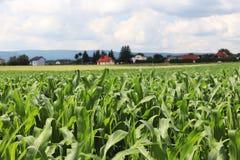 Maïs de Clementing Maturation du secteur agraire de future récolte de l'industrie agricole Ferme d'usine Élevage de l'hôte de cér Photo libre de droits