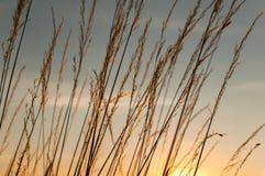 Maïs de coucher du soleil Images stock