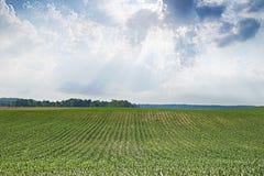 Maïs de début de l'été Photo stock