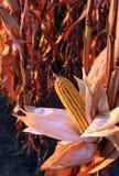 Maïs de début de la matinée Photo libre de droits