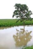 Maïs et arbres dans l'inondation, Luannan, Hebei, Chine. Photos stock