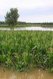 Maïs et arbres dans l'inondation, Luannan, Hebei, Chine. Images libres de droits
