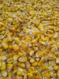 Maïs de grain sous la neige Photographie stock libre de droits