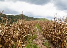 Maïs de jardin Images stock
