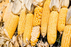 Maïs de maïs Photographie stock