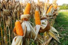 Maïs de plan rapproché Photographie stock