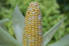 Maïs de plan rapproché sur l'petit animal Photographie stock libre de droits