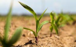 Maïs de pousse images libres de droits