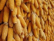 Maïs de séchage Images libres de droits