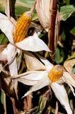 Maïs de saison de moisson Photos stock