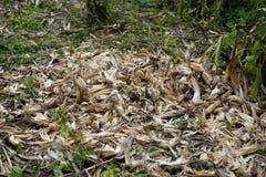Maïs de Shell photos libres de droits