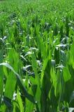 Maïs de zone Photo stock