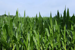 Maïs de zone Image libre de droits