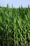 Maïs de zone Photos stock