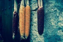 Maïs différent de couleur Image stock