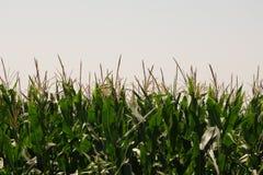 Maïs du Nébraska contre le ciel Image libre de droits