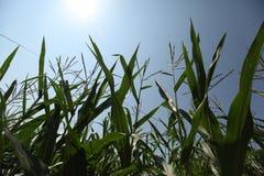 Maïs en blauwe hemel Stock Foto