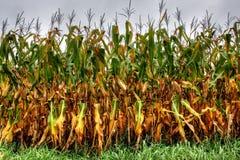 Maïs en heure d'été Photographie stock