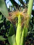 Maïs en juillet Photographie stock libre de droits