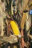 Maïs en octobre Photographie stock libre de droits
